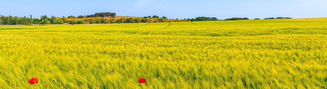 Wheat,Field,And,Red,Poppy,Flowers,Near,Moritzdorf,Village,In